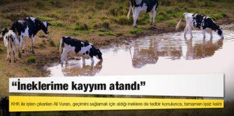 Мужчину уволили с работы по декрет-закону и назначили «доверительного управляющего» на его коров