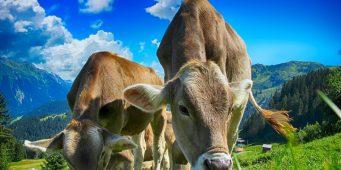 Массовый импорт крупного рогатого скота указывает на конец животноводства в Турции