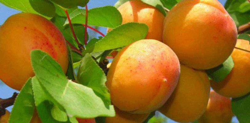 В России изъяты зараженные абрикосы из Турции