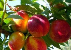 Россия вернула Турции 20 тонн зараженных нектаринов