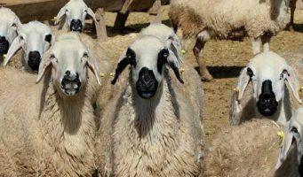Овцы по госпрограмме оказались зараженными чумой