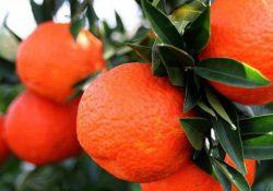 Россия не пустила 250 тонн зараженных мандаринов из Турции